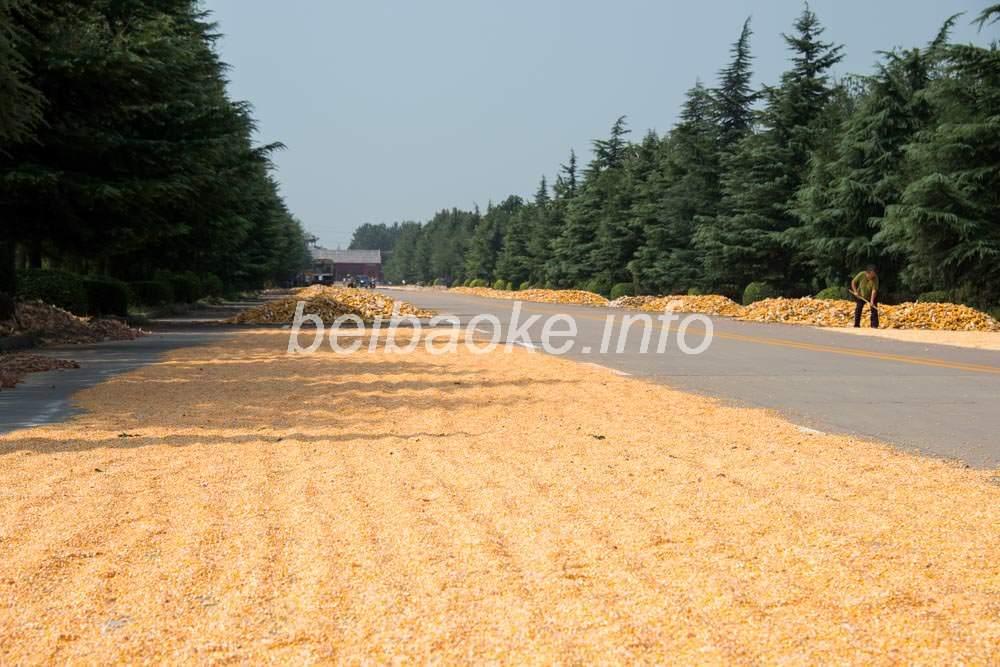 道路で干されるトウモロコシ