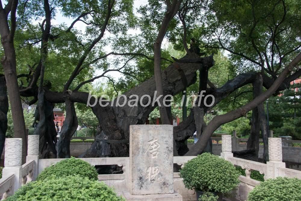 千年古樹の唐槐